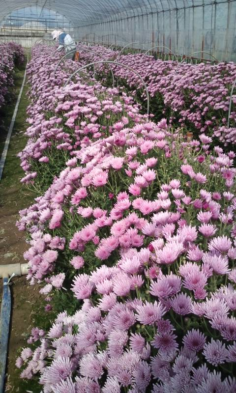 早生もって菊収穫